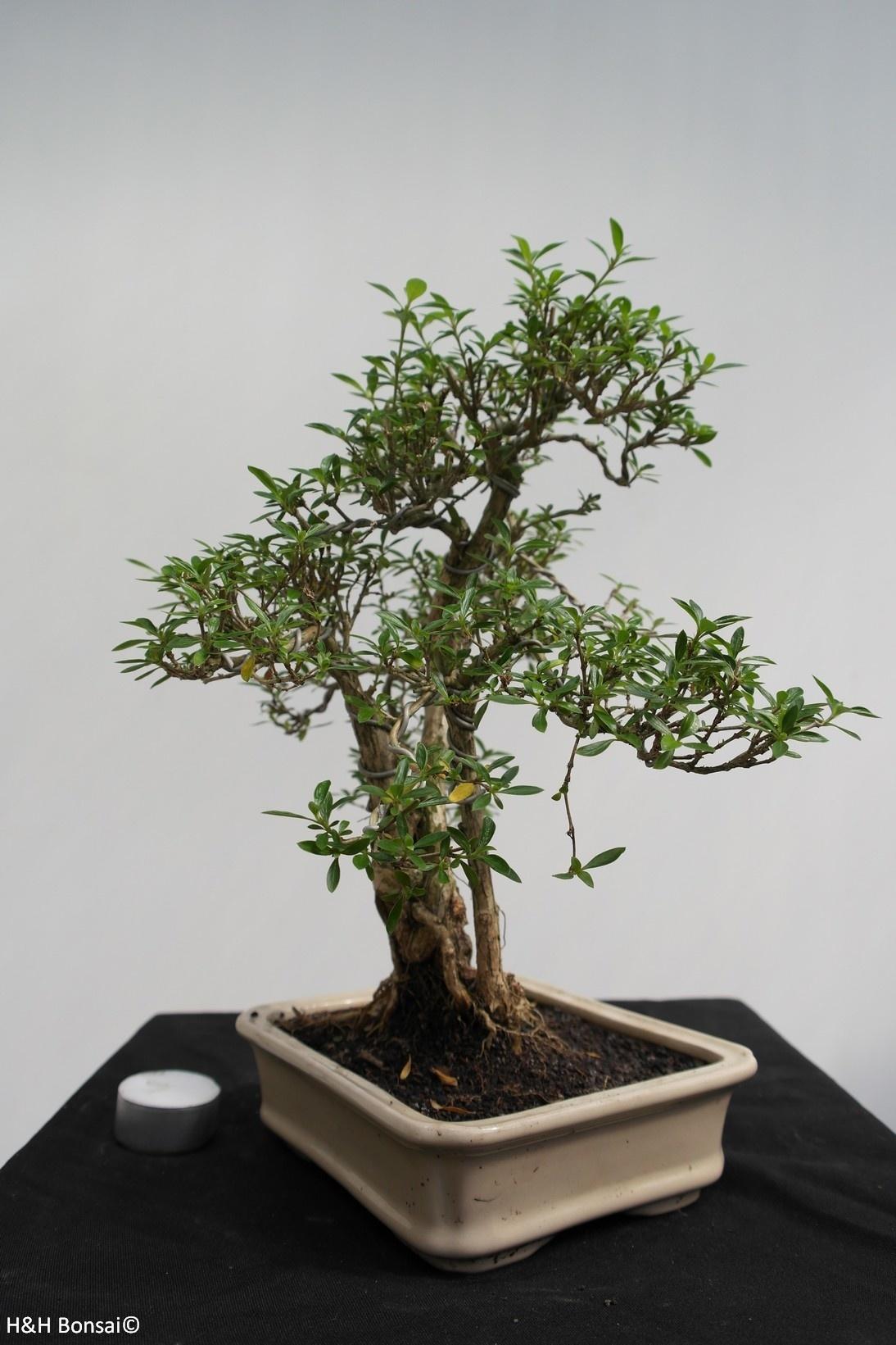 Bonsai Serissa foetida, nr. 7862