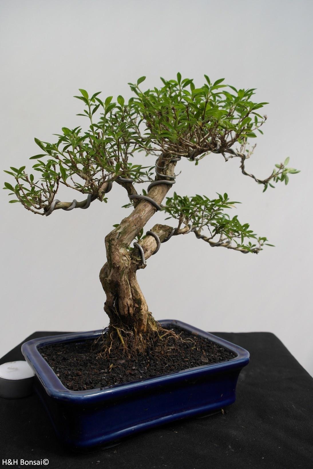 Bonsai Serissa foetida, nr. 7863