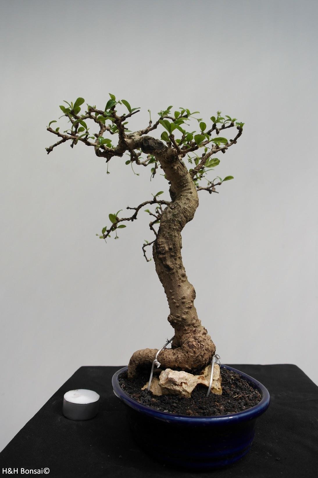 Bonsai Arbre à thé,Carmona macrophylla, no. 7864