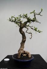 Bonsai Carmona macrophylla, nr. 7864