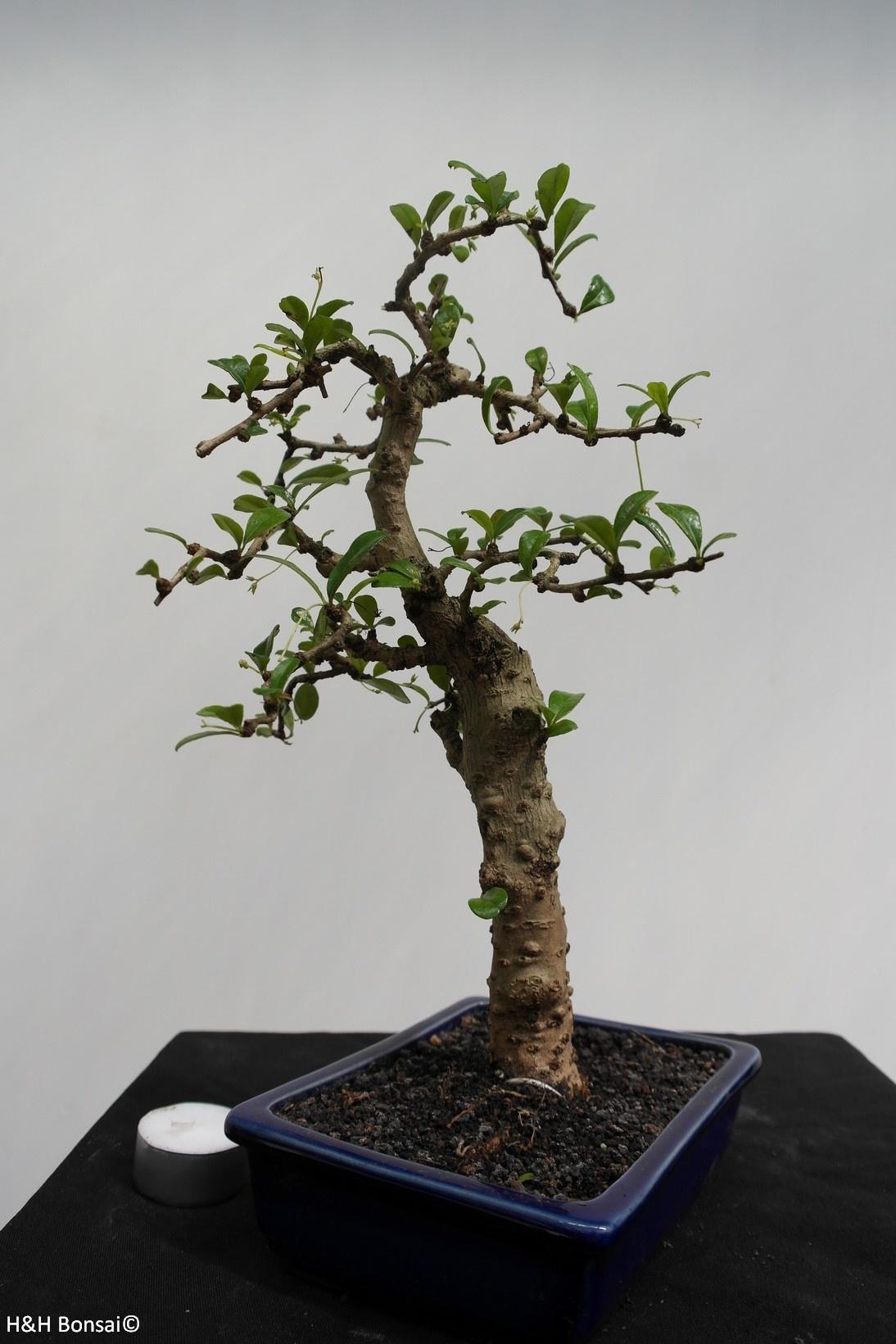 Bonsai Arbre à thé,Carmona macrophylla, no. 7866