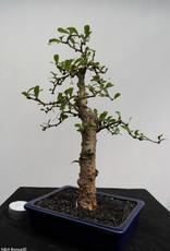 Bonsai Carmona macrophylla, nr. 7866