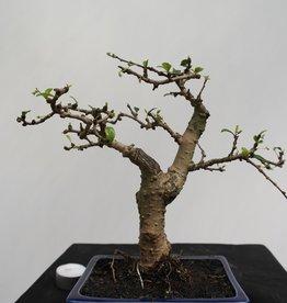 Bonsai Arbre à thé,Carmona macrophylla, no. 7867