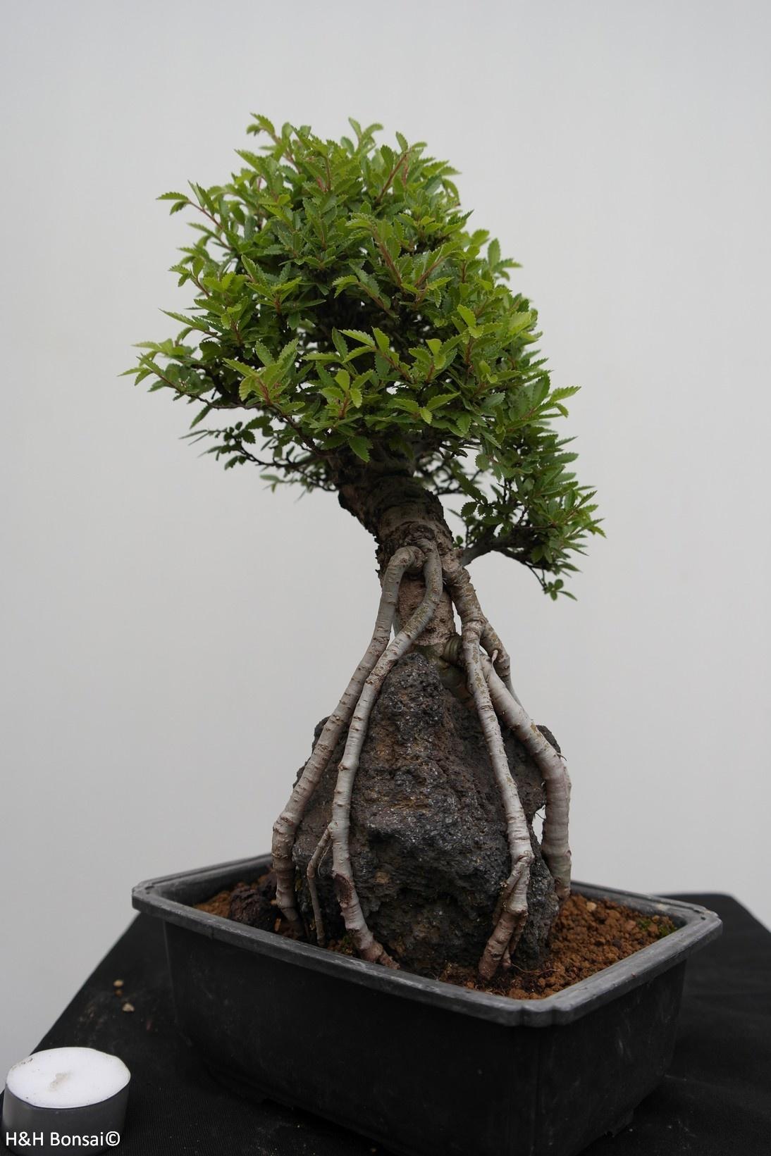 Bonsai Zelkova nire, no. 7349