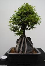 Bonsai Zelkova nire, no. 7350