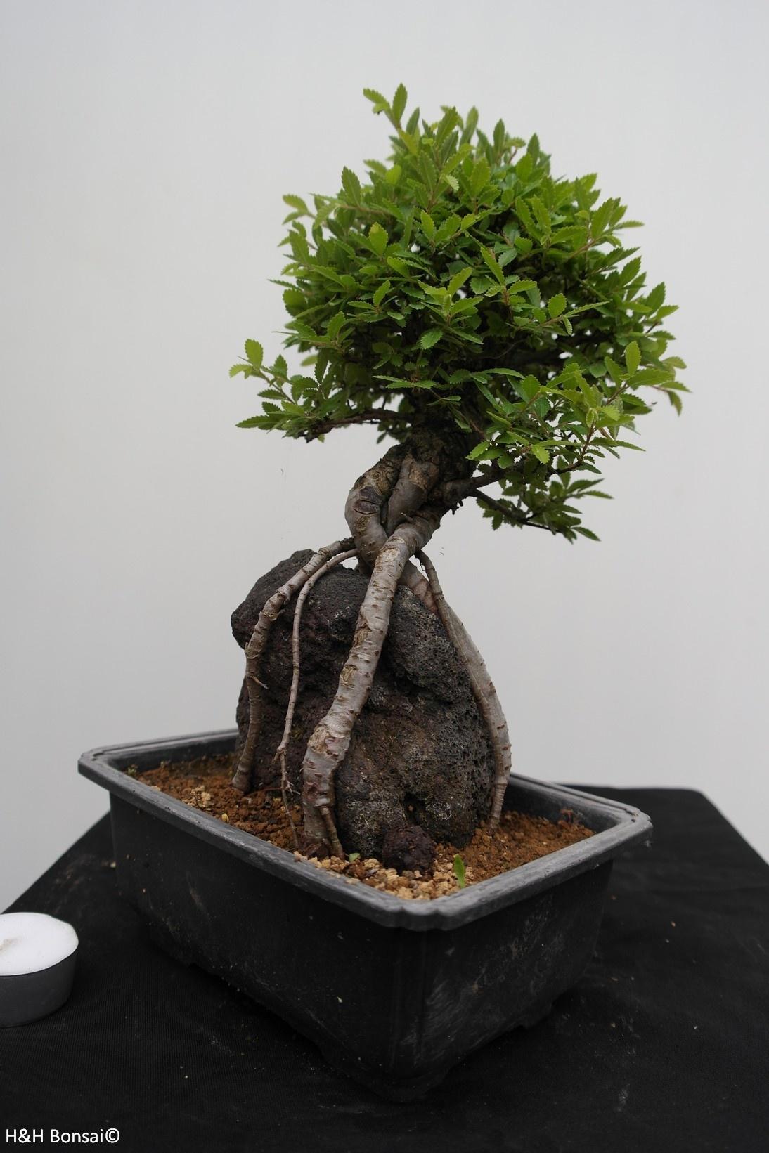 Bonsai Zelkova nire, nr. 7350