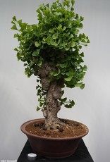Bonsai Ginkgo biloba, Japanse notenboom, nr. 7351