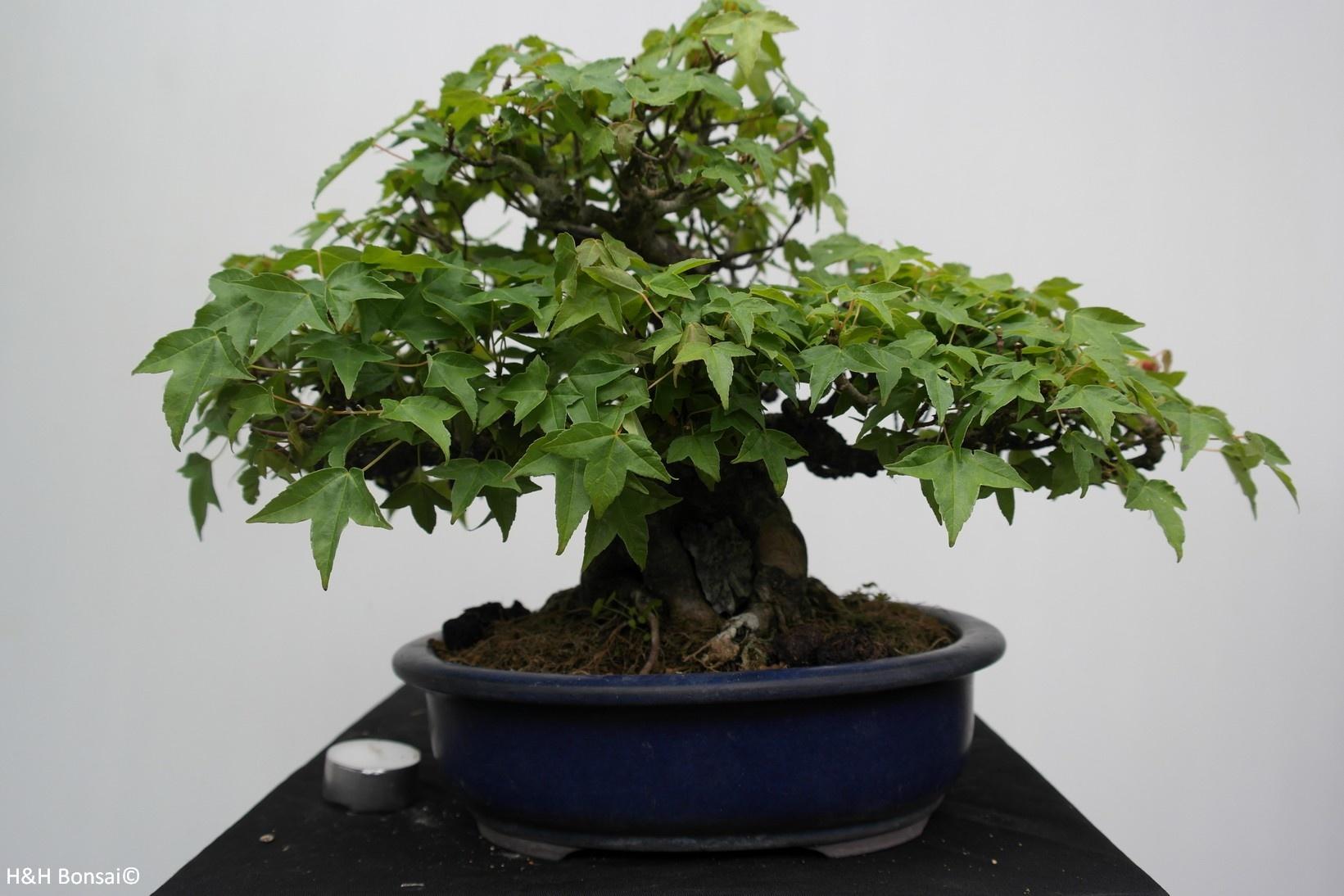 Bonsai Acer buergerianum, Drietands Esdoorn, nr. 7513A