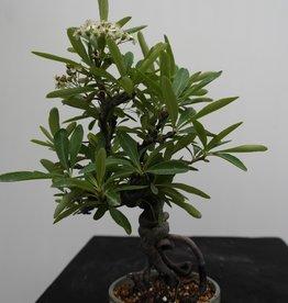 Bonsai Buisson ardent, Pyracantha, no. 7525