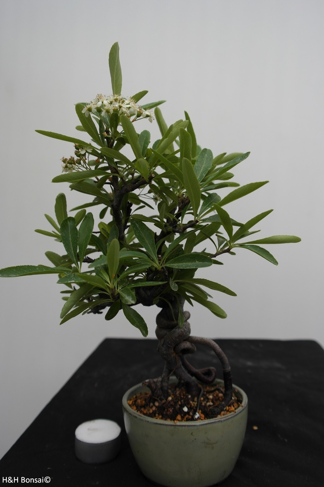 Bonsai Buisson ardent, Pyracantha, no. 7525