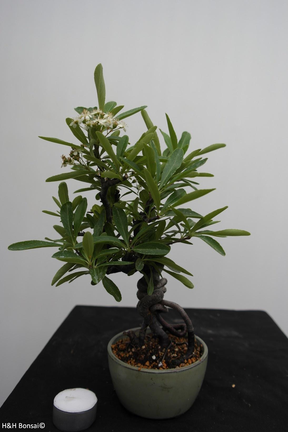 Bonsai Pyracantha, Vuurdoorn, nr. 7525
