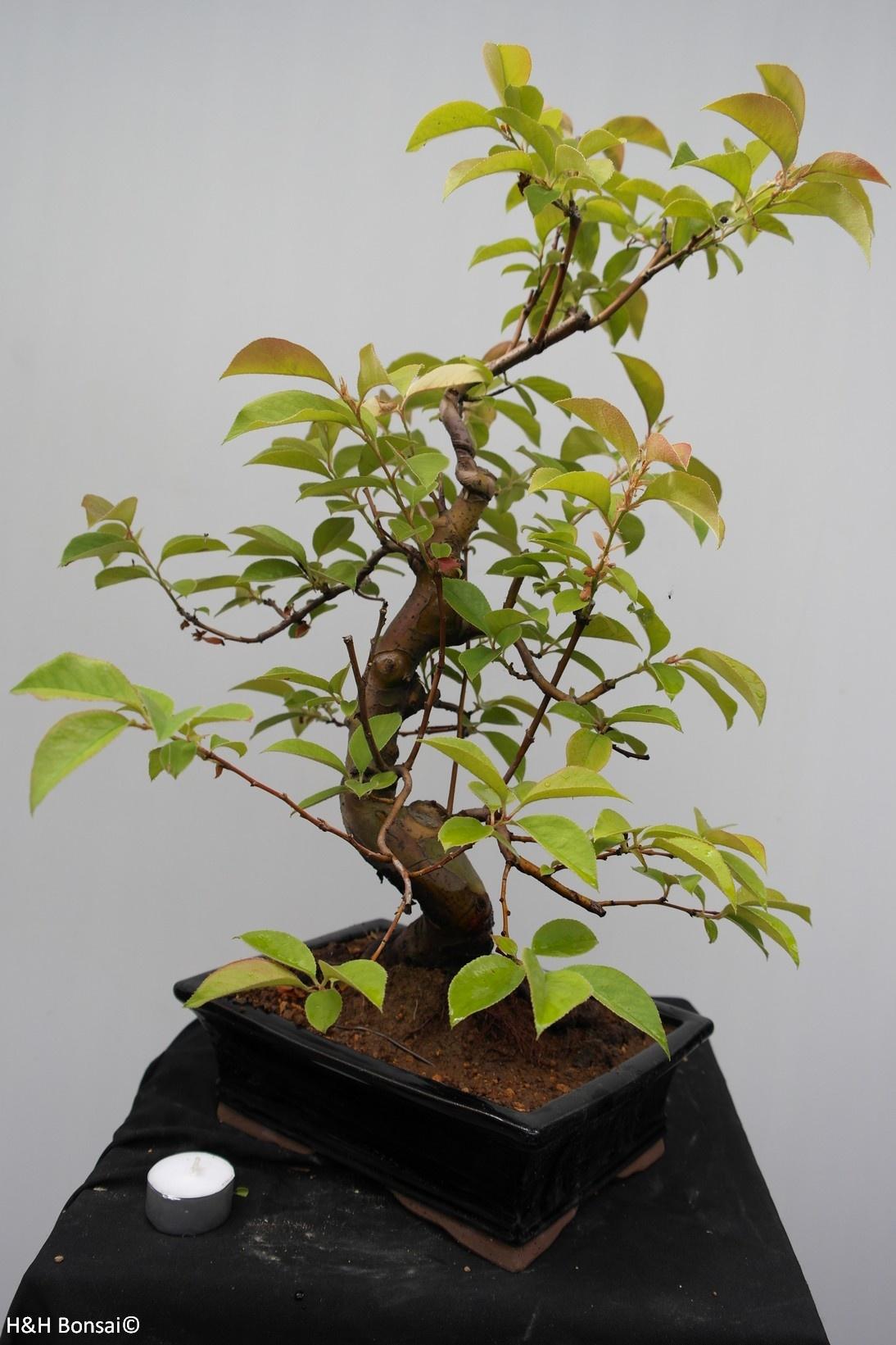 Bonsai Pseudocydonia sinensis, nr. 7648