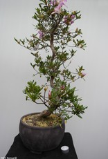Bonsai Azalée du Japon, Azalea Satsuki Shisen, no. 7656