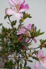 Bonsai Azalea Satsuki Shisen, nr. 7656