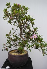 Bonsai Azalea Satsuki Shisen, nr. 7658