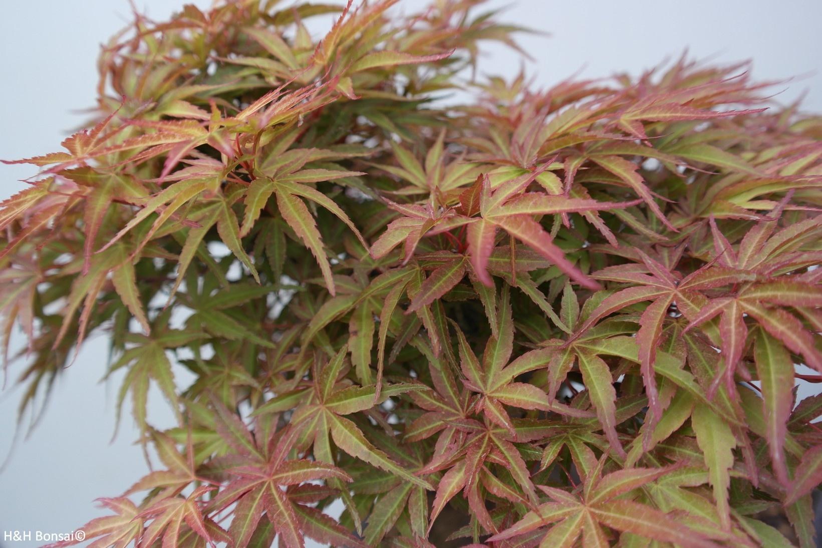 Bonsai Acer palmatum, Japanse esdoorn, nr. 7767