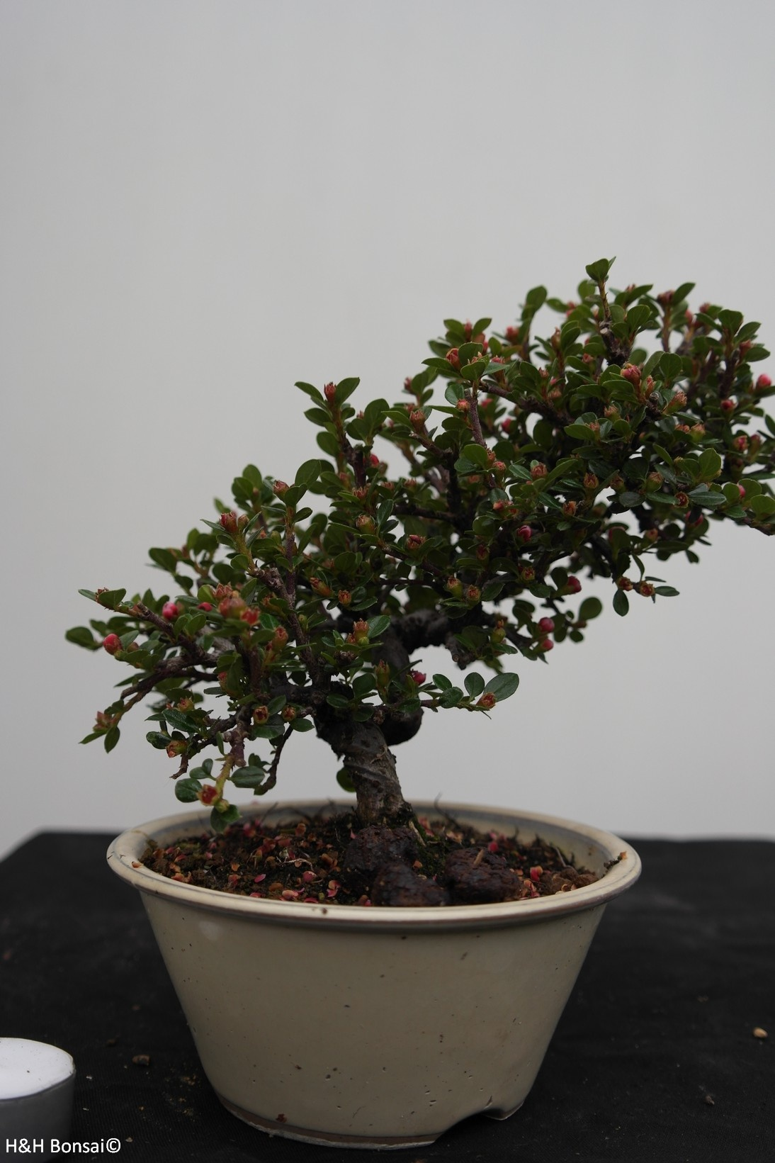Bonsai Shohin Cotonéaster, Cotoneaster, no. 7771