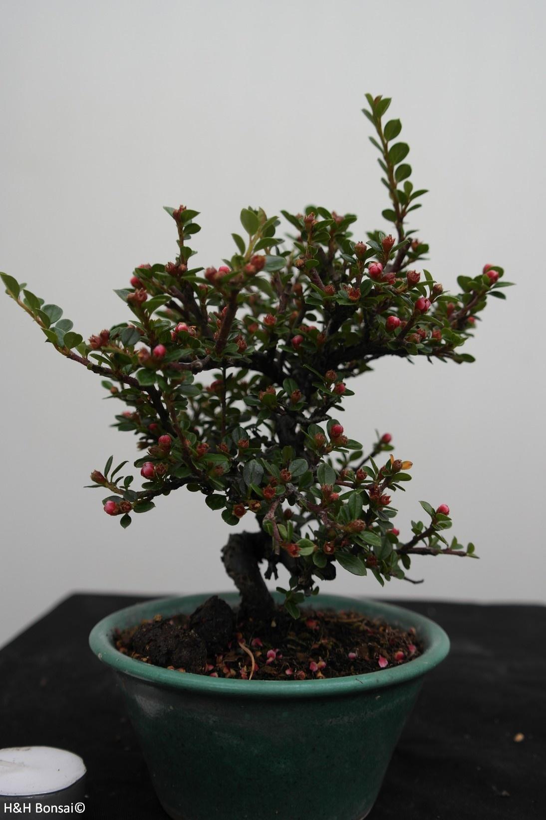 Bonsai Shohin Cotoneaster, Dwergmispel, nr. 7772