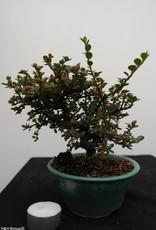 Bonsai Shohin Cotoneaster, Dwergmispel, nr. 7773