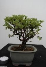 Bonsai Shohin Potentilla fruticosa, nr. 7775