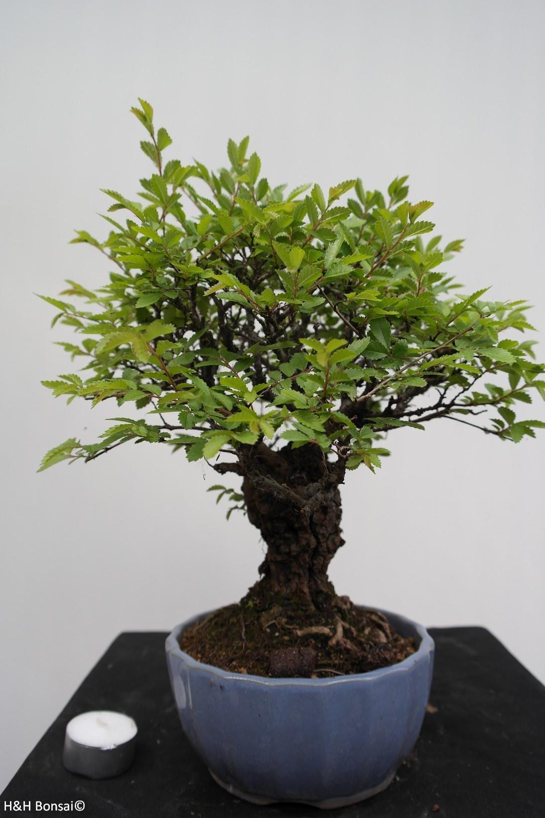 Bonsai Zelkova nire, nr. 7791