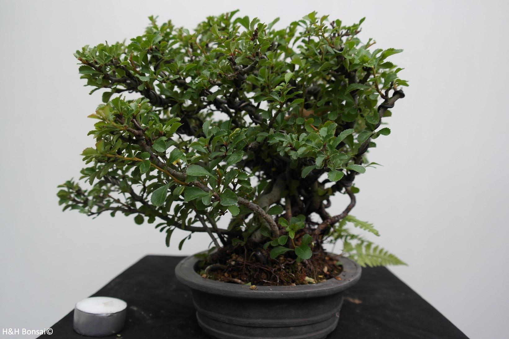 Bonsai Chaenomeles japonica, Japanse sierkwee, nr. 7796