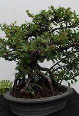 Bonsai Cognassier du Japon, Chaenomeles japonica, no. 7796