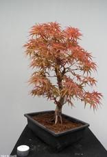 Bonsai Erable du Japon, Acer palmatum, no. 7755