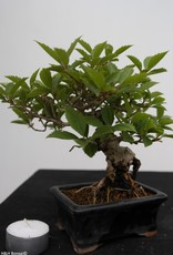 Bonsai Shohin Forsythia, Chinees klokje, nr. 7517