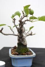Bonsai Shohin Malus, nr. 7518