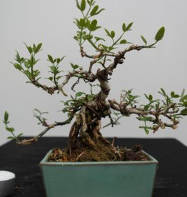 Bonsai Shohin Jasminum nudiflorum, Winterjasmijn, nr. 7528