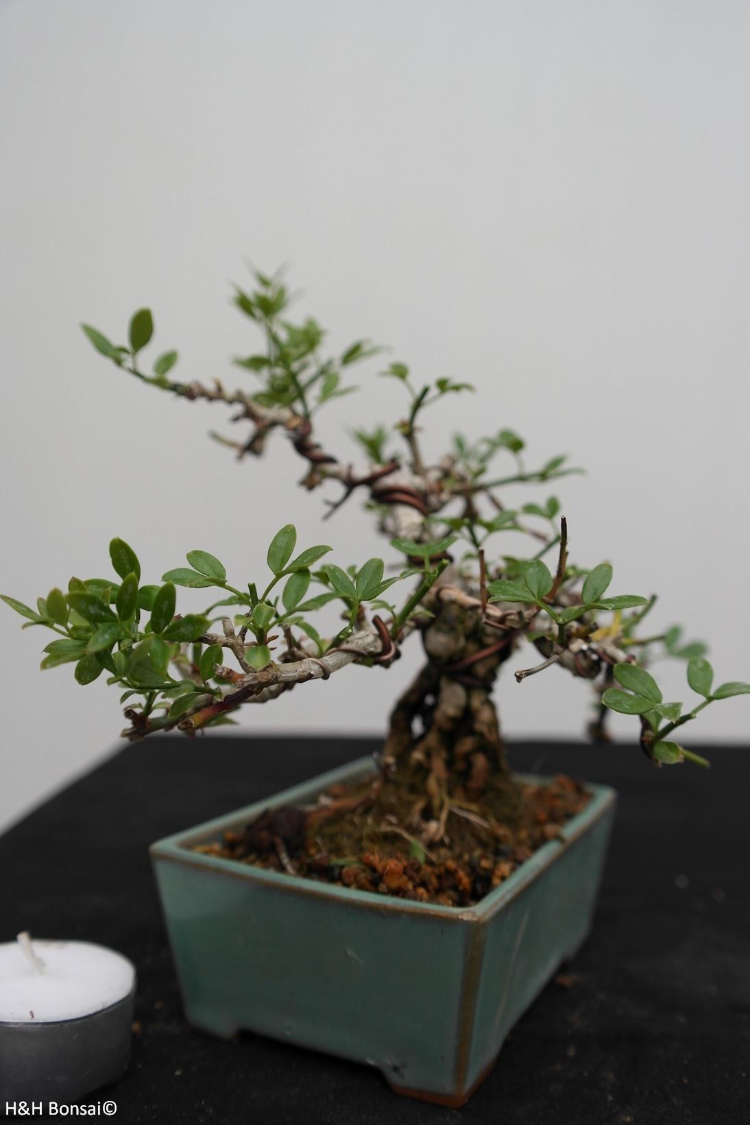 Bonsai Shohin Jasminum nudiflorum,Winterjasmijn, nr. 7528