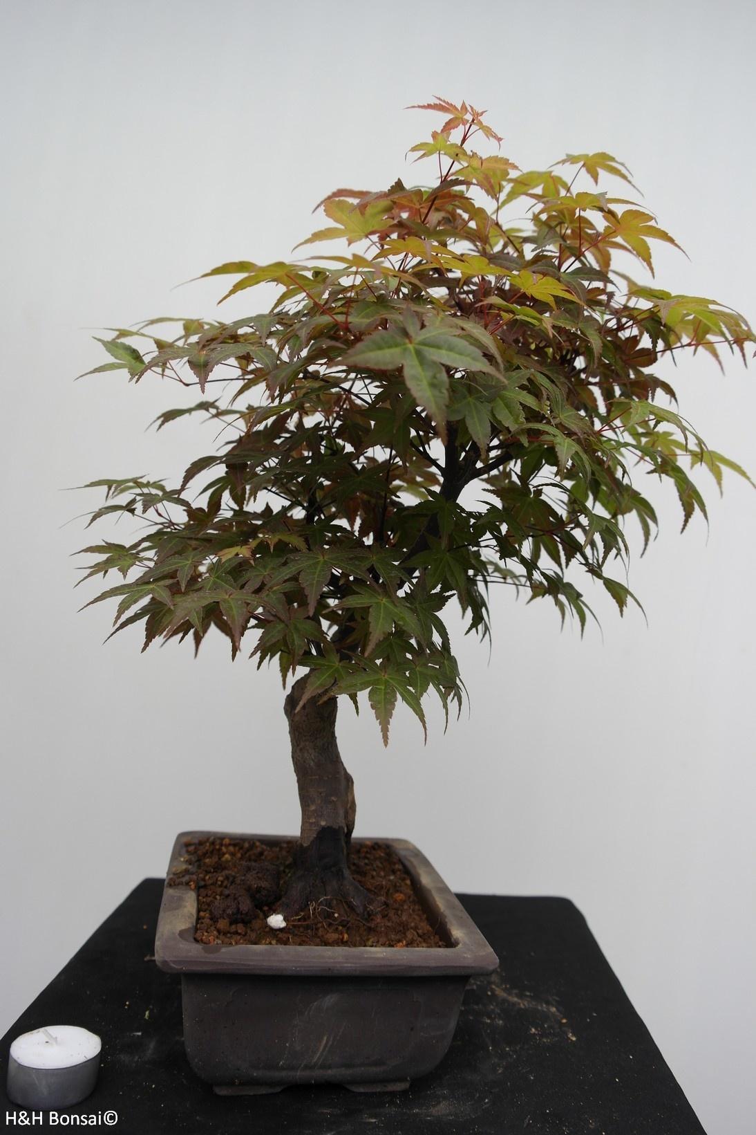 Bonsai Erable du Japon deshojo, Acer palmatum, no. 7650