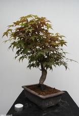Bonsai Acer palmatum deshojo, Japanse esdoorn, nr. 7650