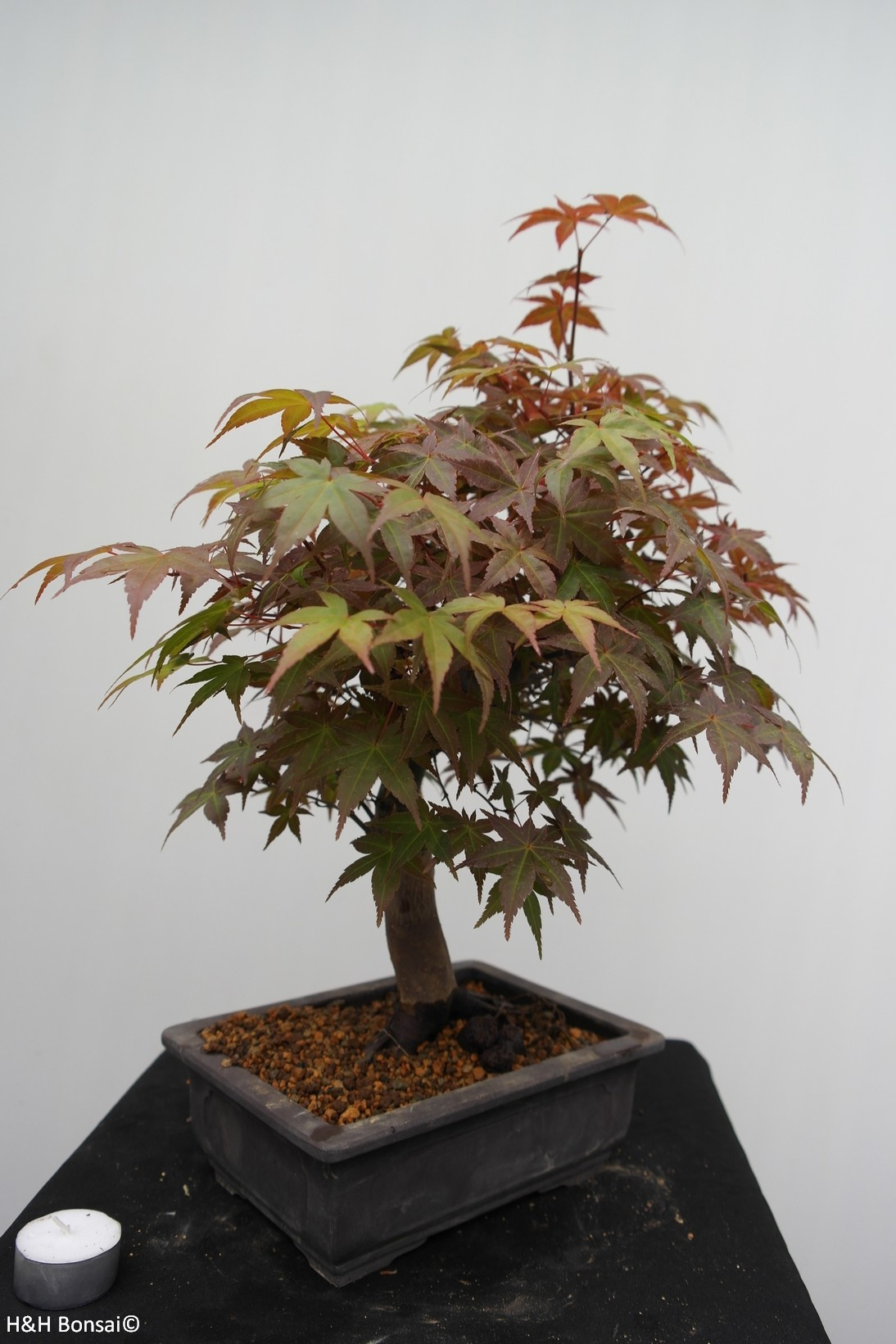 Bonsai Acer palmatum deshojo, Japanse esdoorn, nr. 7652