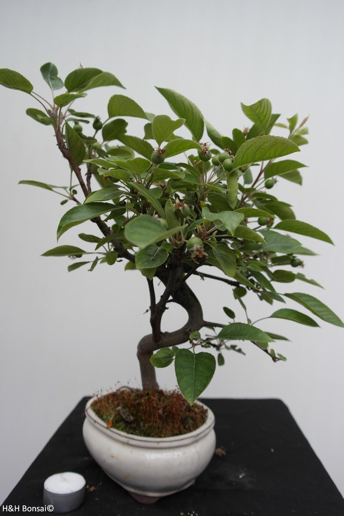 Bonsai Malus halliana, Appel, nr. 7666