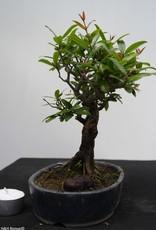 Bonsai Shohin Grenadier, Punica granatum, no. 7770