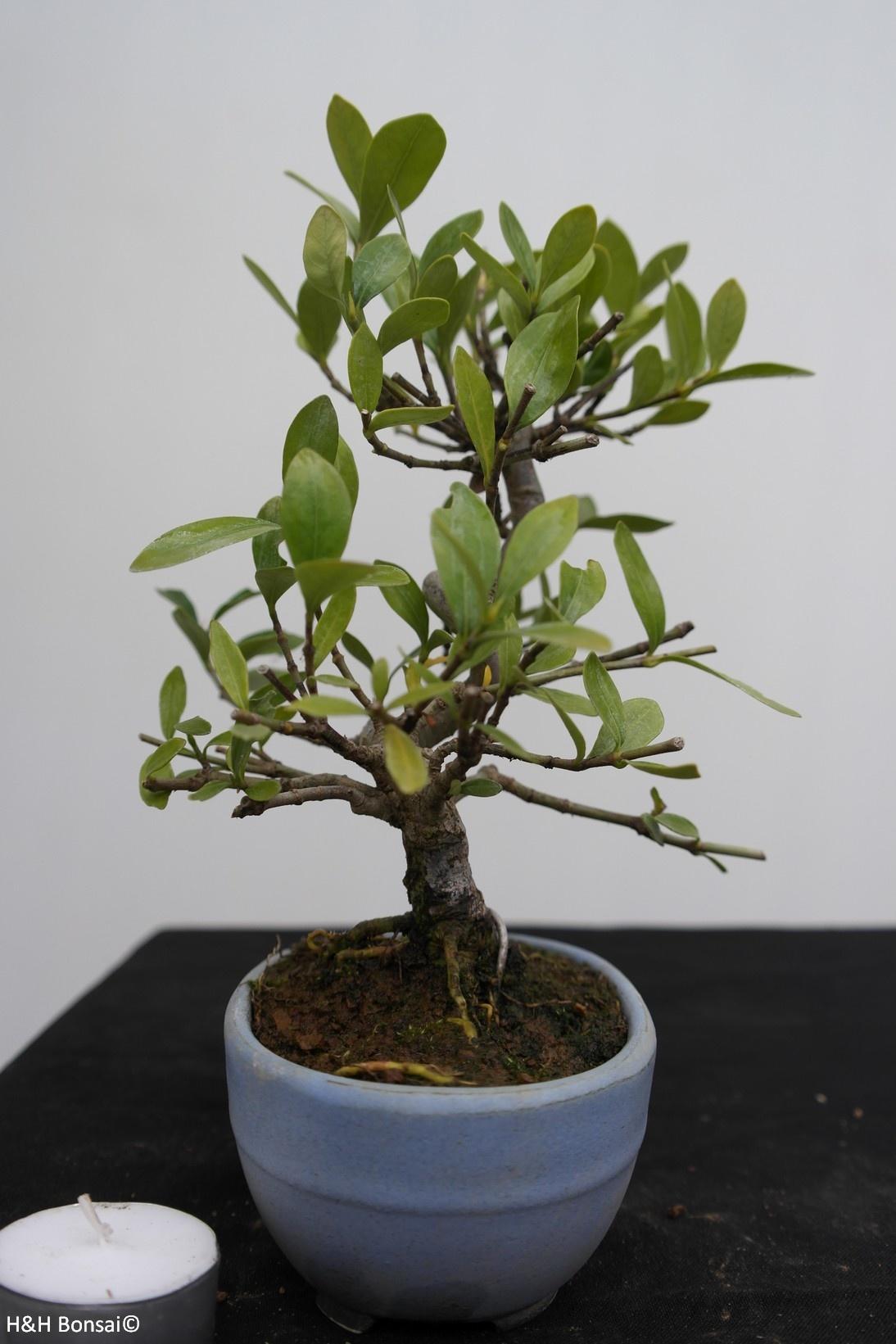 Bonsai Shohin Gardenia jasminoides, Kaapse jasmijn, nr. 7774