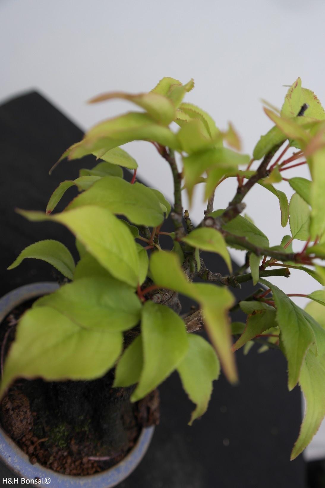 Bonsai Shohin Prunus mume, Japanse abrikoos, nr. 7779