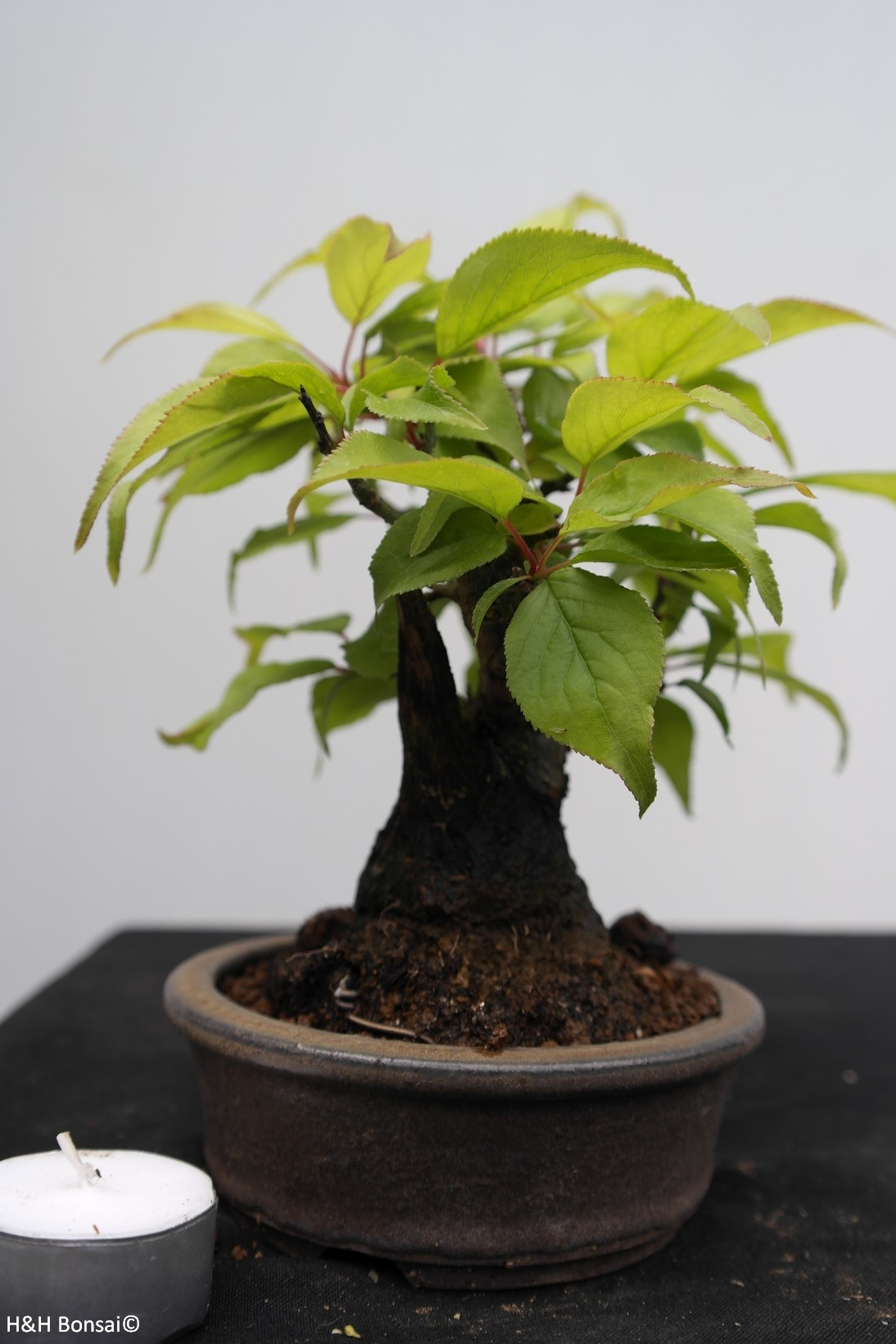 Bonsai Shohin Abricotier du Japon, Prunus mume, no. 7780