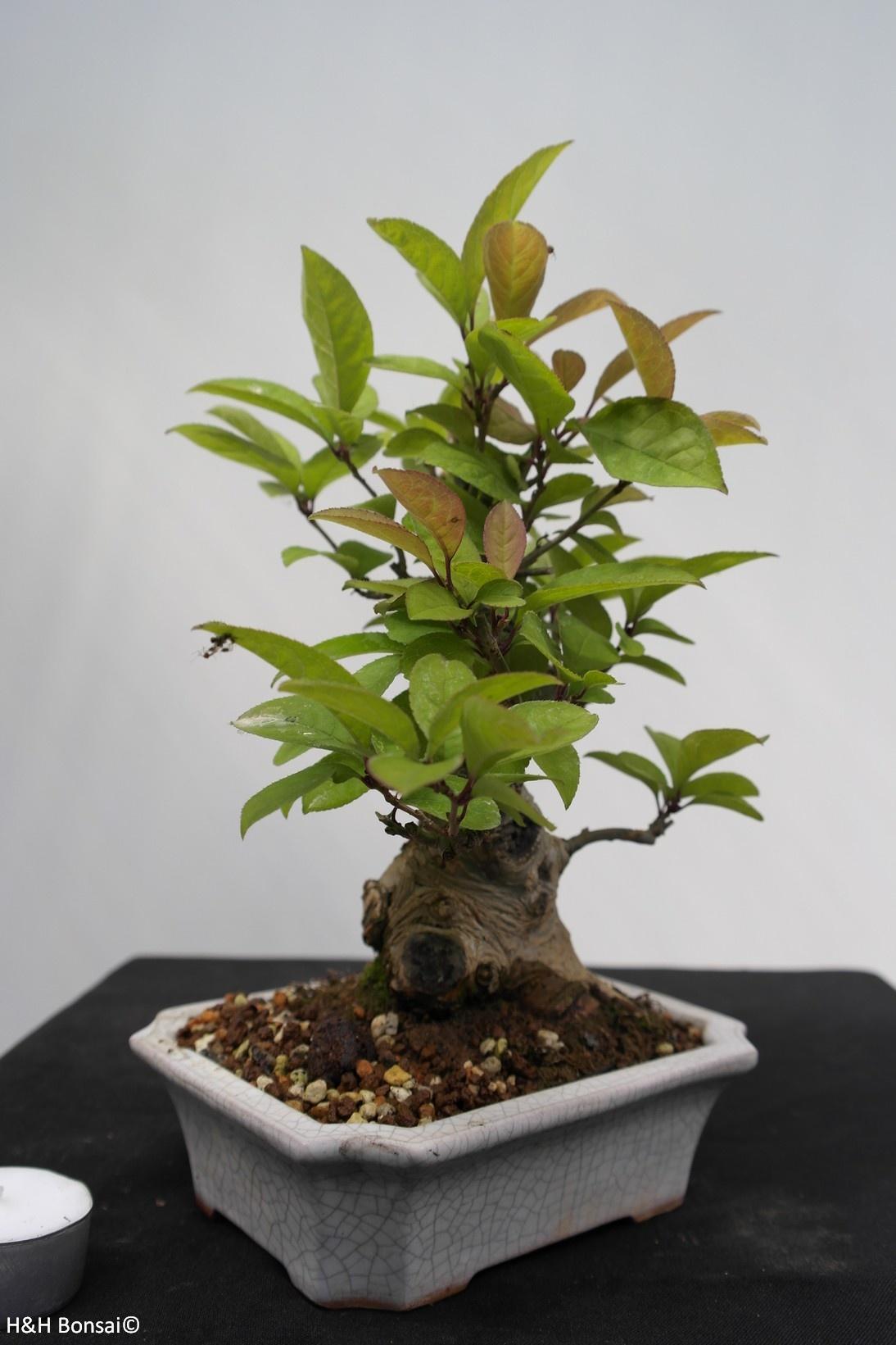 Bonsai Shohin Ilex serrata, no. 7781