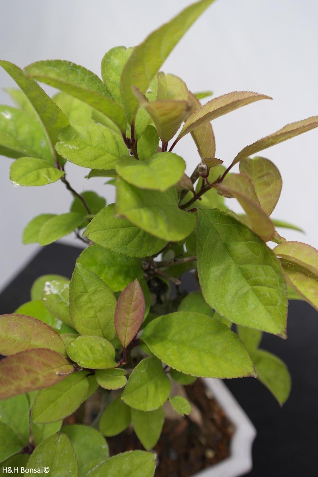 Bonsai Shohin Ilex serrata, Japanse winterbes, nr. 7781