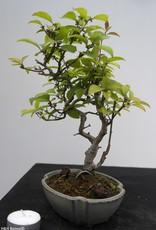 Bonsai Shohin Ilex serrata, no. 7789