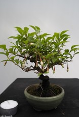Bonsai Shohin Styrax japonicus,no. 7790