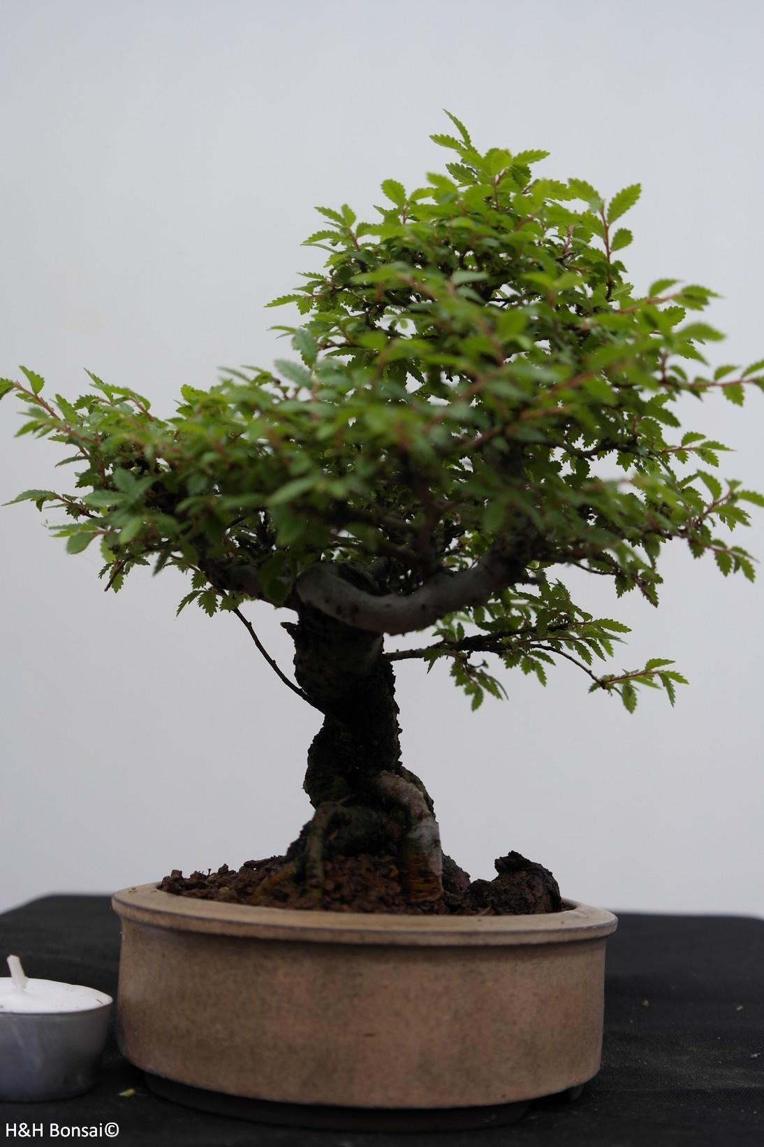 Bonsai Shohin Zelkova nire, no. 7798
