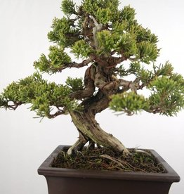 Bonsai Juniperus chinensis itoigawa, Jeneverbes,  nr. 5127
