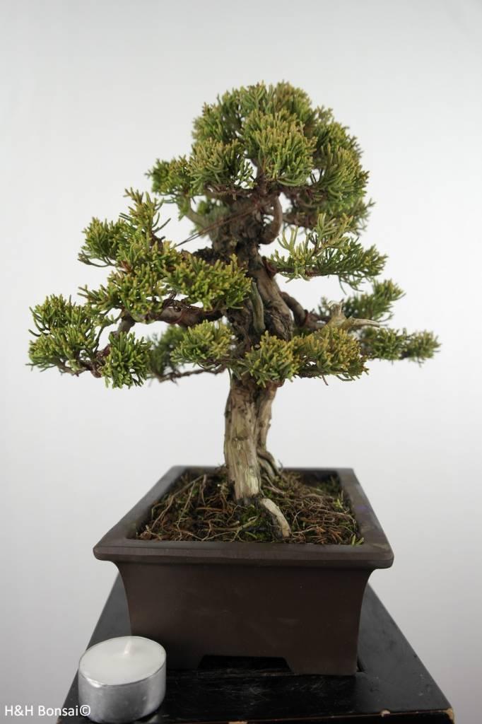 Bonsai Genévier de Chine, Juniperus chinensis itoigawa, no. 5127