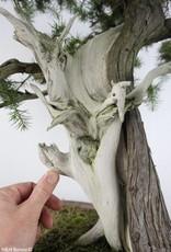 Bonsai Genévier regida, Juniperus regida, no. 5142