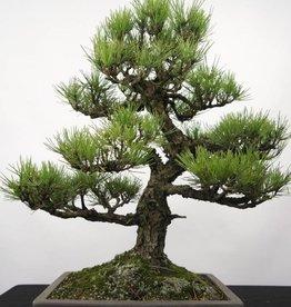 Bonsai Pinus thunbergii, Japanse Zwarte den, nr. 5168