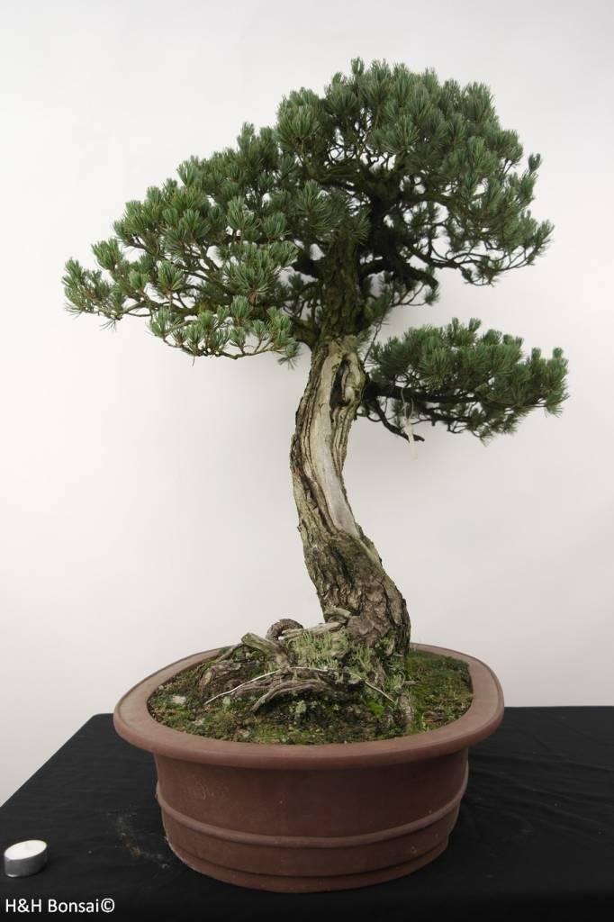 Bonsai Pin blanc du Japon, Pinus penthaphylla, no. 5173